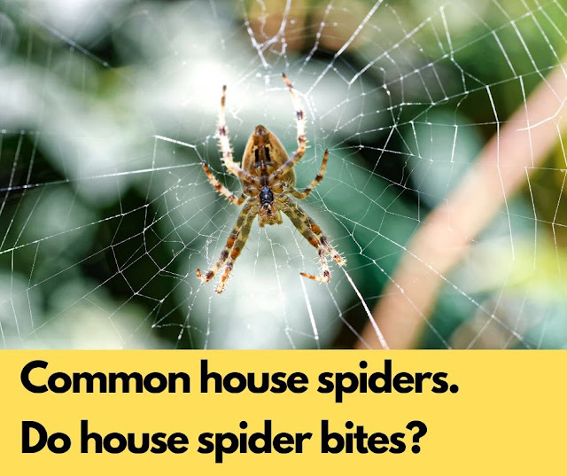 Common house spiders. Do house spider bites?