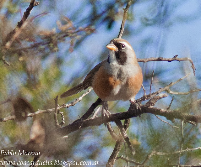 "alt=""pepitero chico,vira vira,saltatricula multicolor,aves de Mendoza"""
