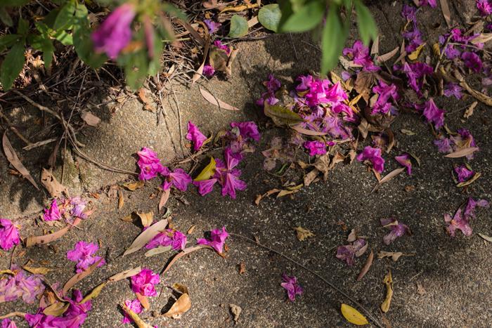 fallen purple blooms