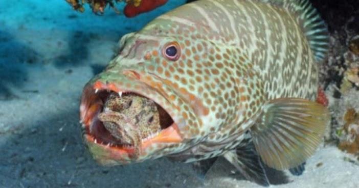 Melek Perikanan Ikan Kerapu Klasifikasi Morfologi Habitat Dll