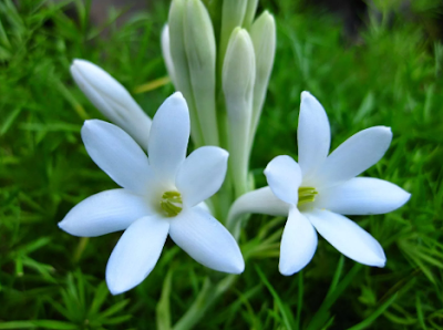 Cara Menanam Bunga Sedap Malam dan Perawatanya