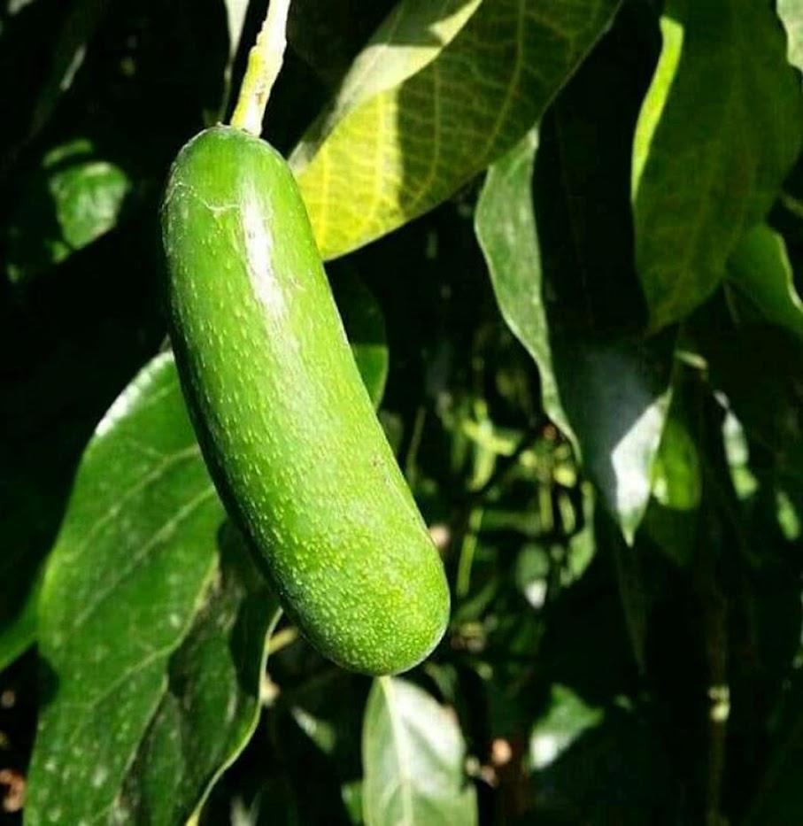 bibit tanaman buah pir Jayapura