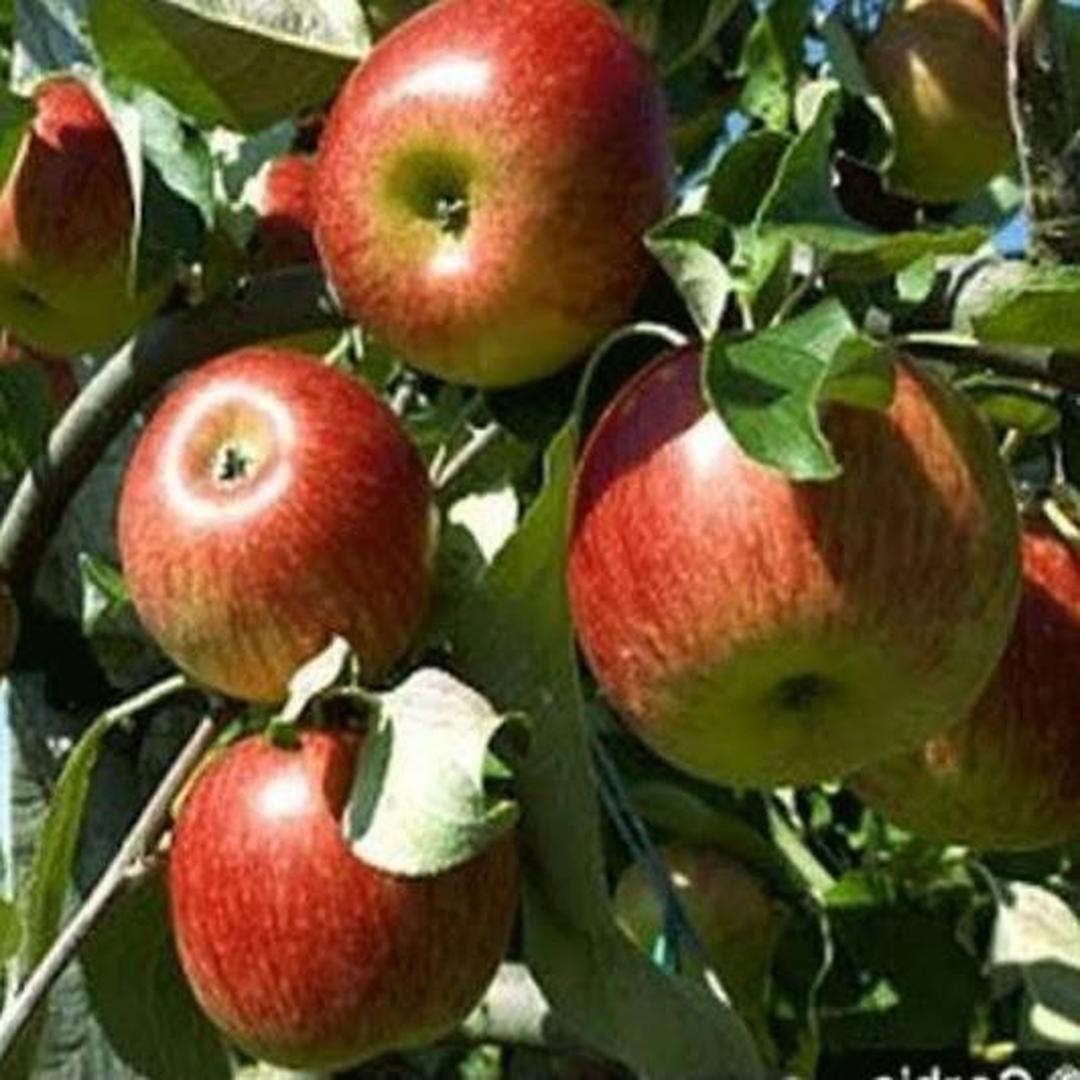 Stok banyak! Diskon 1 1 Bibit Buah apel malang cangkok Kota Bogor #Jual bibit buah
