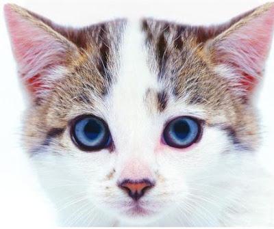Fakta Menarik Dari Telinga Kucing