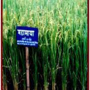 Mahamaya dhan prices drop due to lower demand
