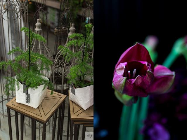Joensuun kukkatalo, huonekuusi, amaryllis