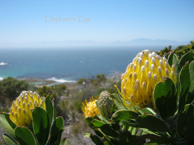 Yellow pincushion October Cape Point