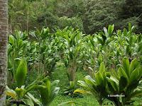 Ti plantation - Senator Fong's Plantation and Gardens, Oahu, HI