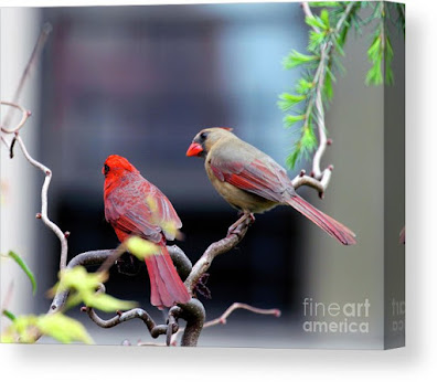 This is a screen shot of a photograph rendered on canvas and available via Fine Art America. It features a couple of cardinals perched on a branch. The female (brownish) is on the right while the male (red) is on the left. Info re this print is @ https://fineartamerica.com/featured/cardinal-love-3-patricia-youngquist.html?product=canvas-print
