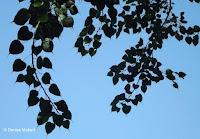 Ficus leaves, Foster Botanical Garden - Honolulu, HI