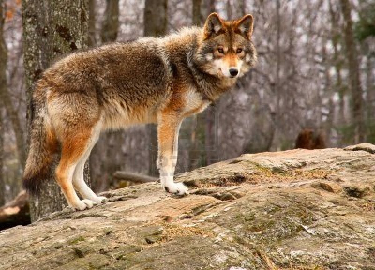 Coyote Animals | Interesting Facts & Latest Pictures | Animals Lover