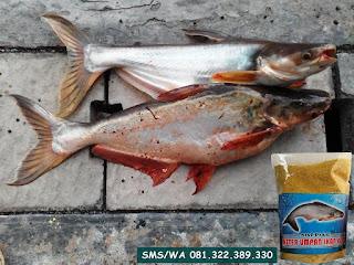 Umpan Ikan Patin Khusus Di Sungai