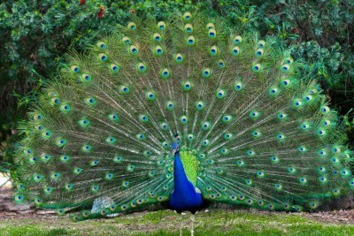 indian peafowl photos and - photo #1