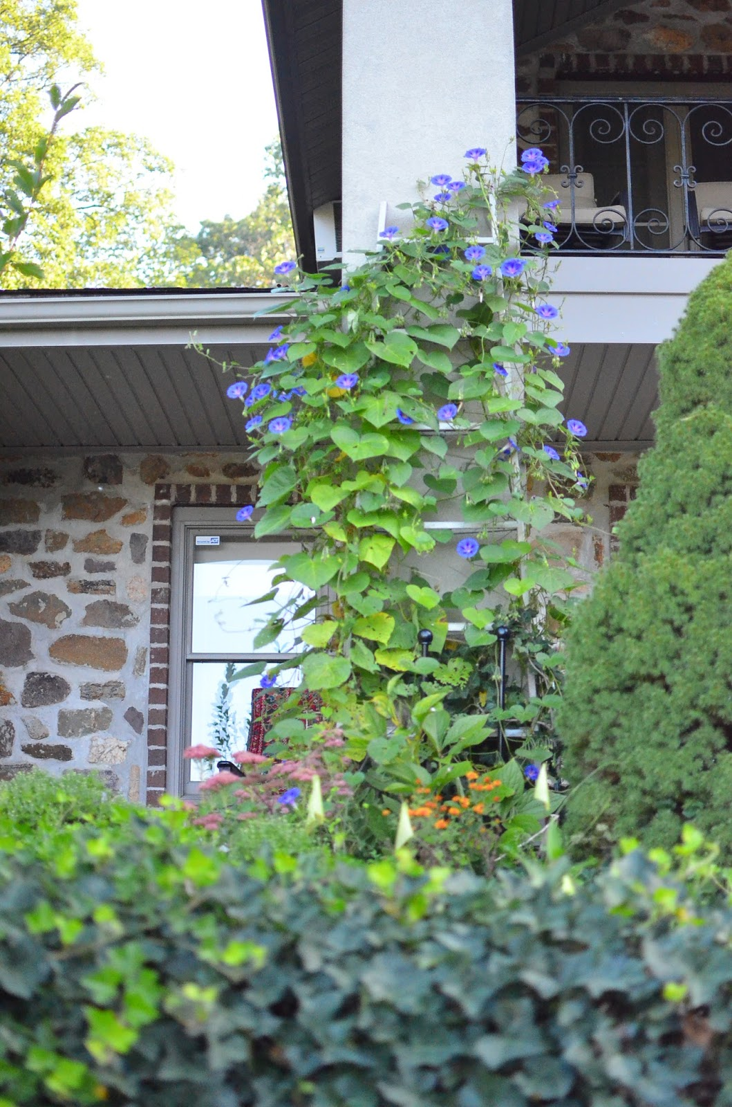 Morning Glories in Fall in Zone 6 at Stonecrest Manor