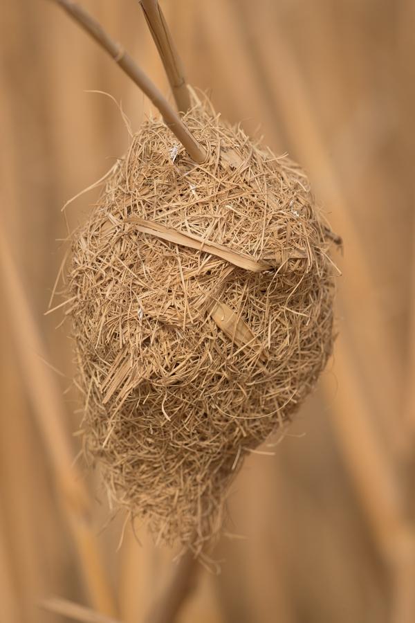 Streaked Weaver nest