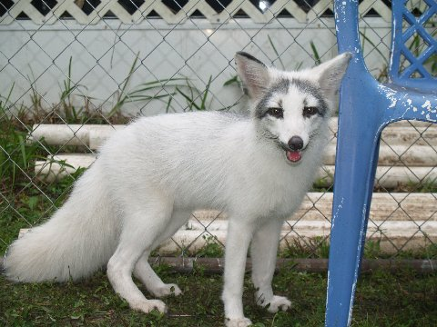 Daydreaming Marble Fox As A Potential Pet