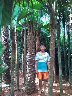 harga jual pohon palm ostralis murah