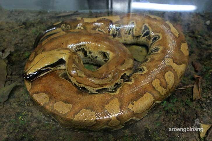 ular sanca darah museum zoologi bogor