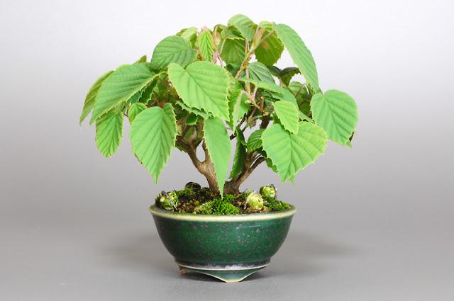 トサミズキD1(土佐水木盆栽)Corylopsis spicata bonsai