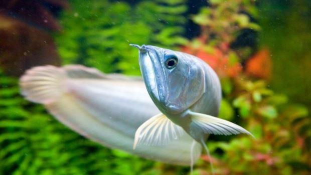 Ikan arwana pembawa hoki atau keberuntungan