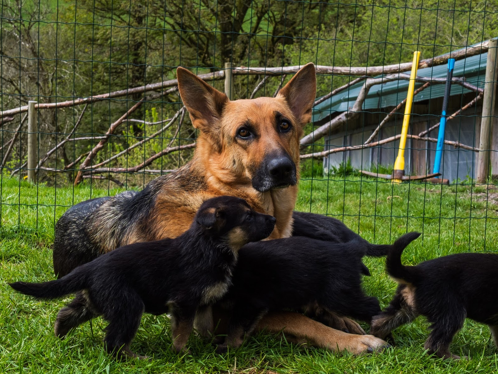 German Shepherd mom with her 4 week old pups outside in the grass.