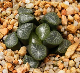 Haworthia maughanii - M06111604