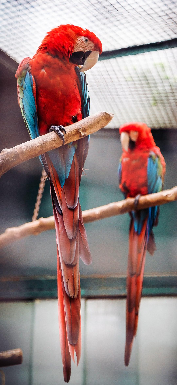 خلفية طائري ببغاء ماكاو لونهما أحمر جميل