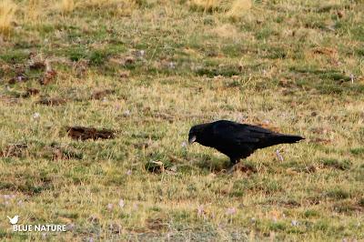 Cuervo grande (Corvus corax) en las cercanías del Parking del Puerto de Cotos