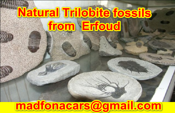 Natural Trilobite fossils from  Erfoud