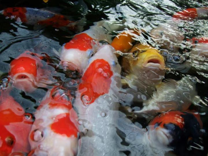 Alternative eden exotic garden about for Koi fish near me
