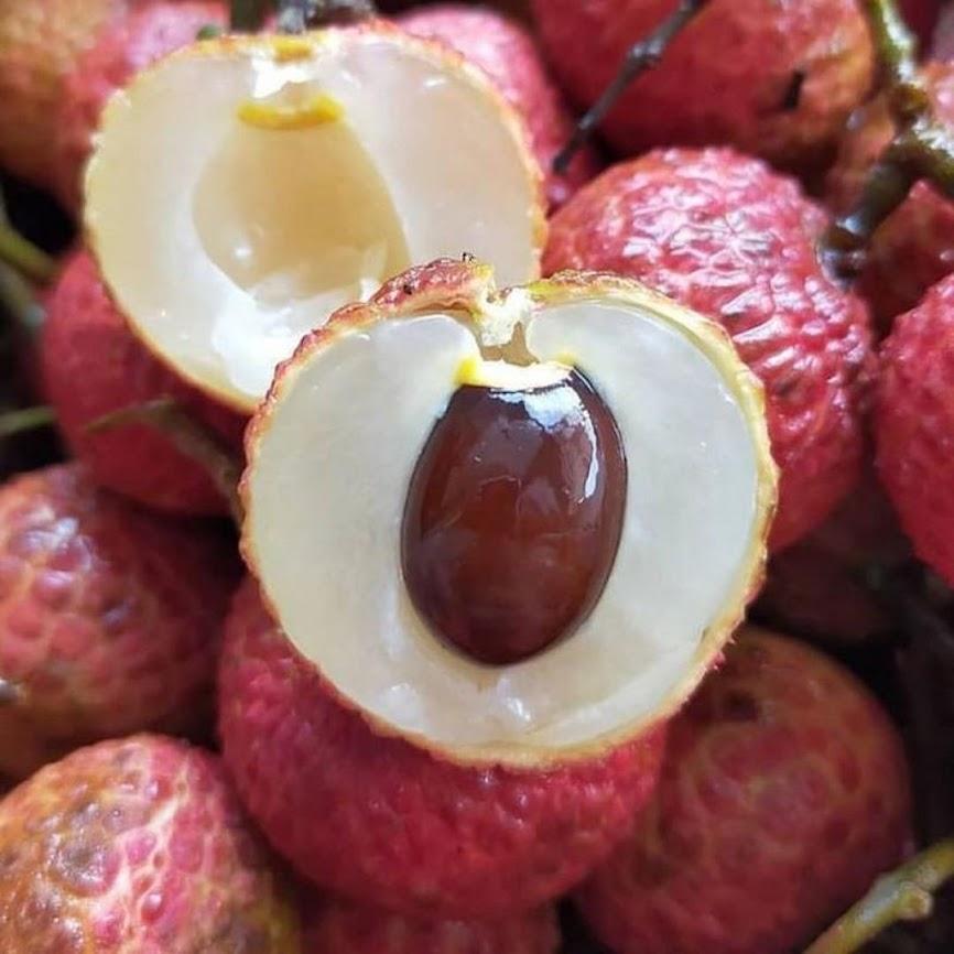 bibit leci merah murah Sulawesi Utara