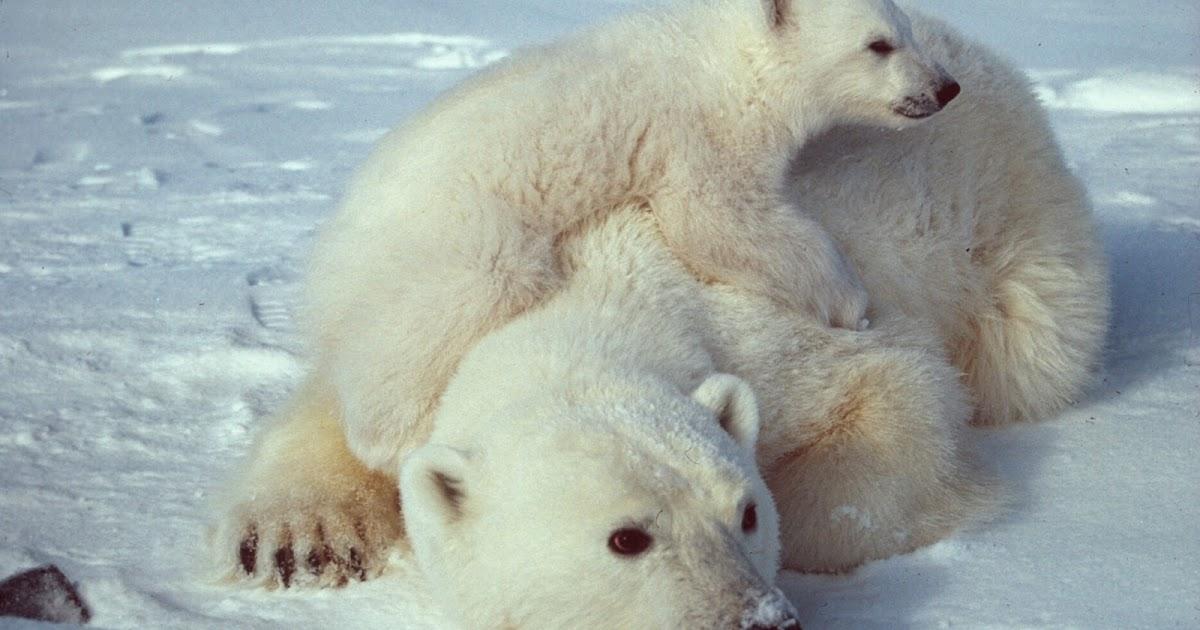 Imagenes De Osos Polares: IMAGENES DE OSOS POLARES: FOTO DE OSA POLAR CON CRIA