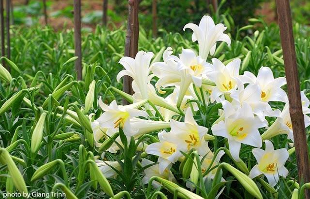 hoa loa ken