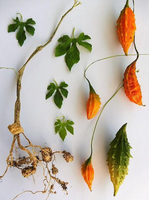 MƯỚP ĐẮNG - Momordica charantia - Nguyên liệu làm thuốc Chữa Ho Hen