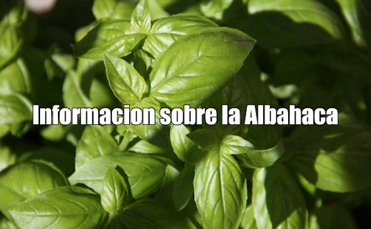 Información sobre la Albahaca (Ocimun basilicum L.)
