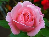 Tips dan Trik Ekstraksi Minyak Mawar dengan Pelarut Menguap