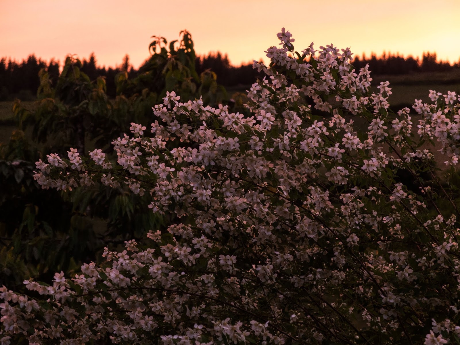 Jasmine bush flowers in pink tones during a sunset.