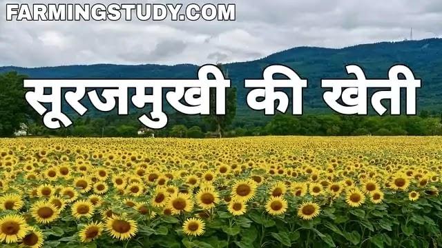 कैसे करें सूरजमुखी की उन्नत खेती ताकि हो दोगुना लाभ, surajmukhi ki kheti, सूरजमुखी के बीज का फोटो, surajmukhi ki fasal, सूरजमुखी की प्रजातियां,