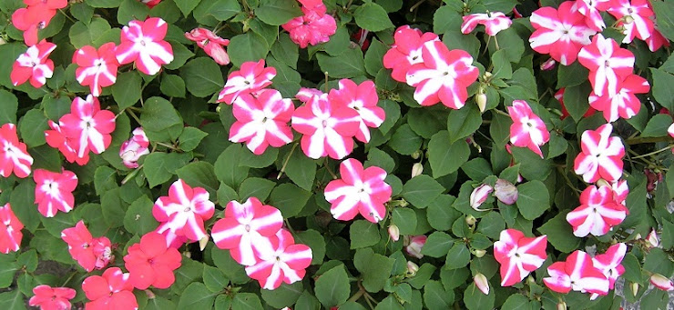 上海8月の花