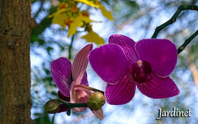 Devo cortar as hastes após a floração das orquídeas?
