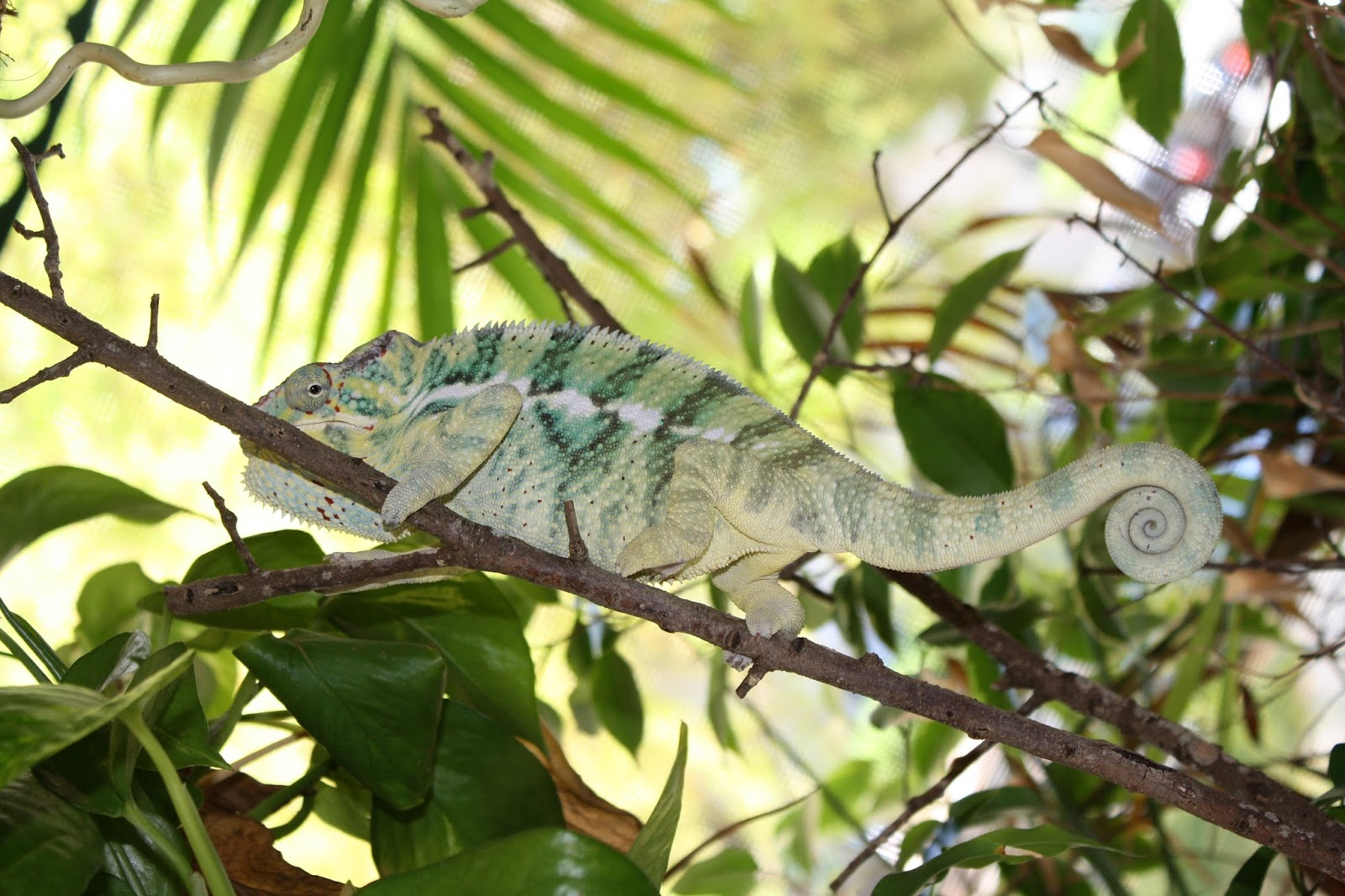 25 amazing chameleon pictures - If You Saw Last Week S Blog Post You Might Be A Slightly Horrified Right Now A Little Like When We Watch Monsters Inside Me And Vow To Never Eat Anything