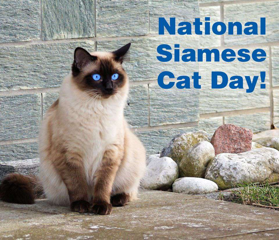 National Siamese Cat Day Wishes Unique Image