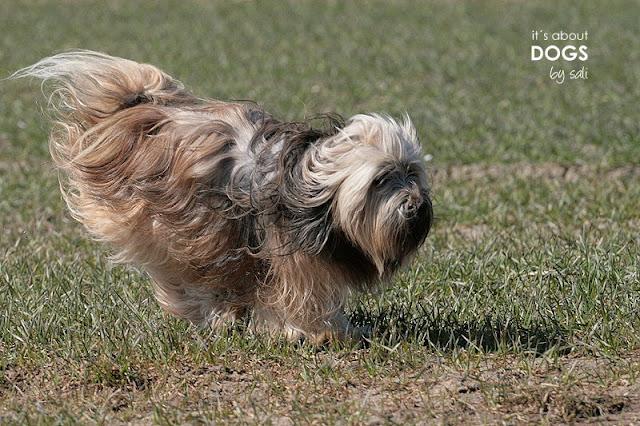Tibet Terrier Chiru rennt frisch gebadet über den staubigen Acker
