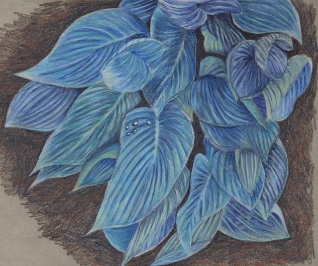 Garden drawing -- hosta