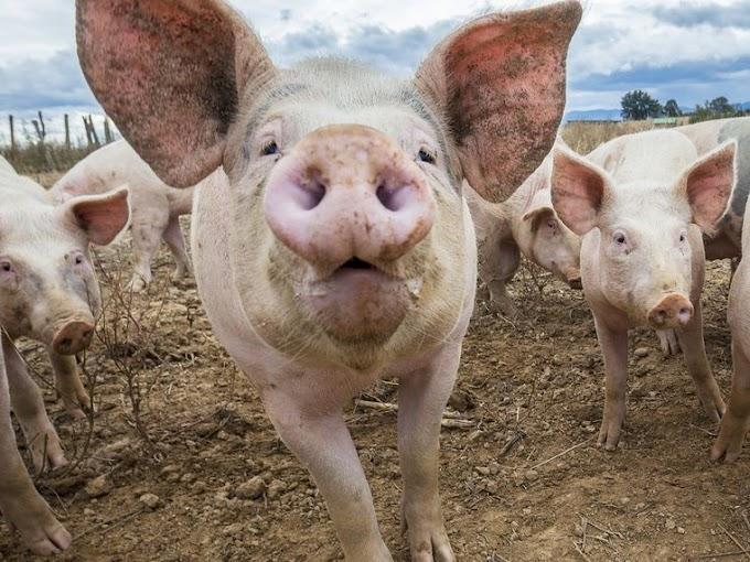 Prohíben comer carne de cerdo en Elías Piña