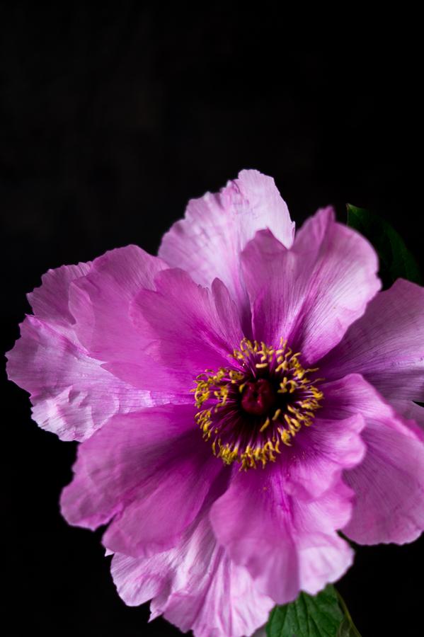 Blog + Fotografie by it's me! | fim.works | Bunt ist die Welt | Blumen | rosa-fliederfarbene Bauernpfingstrose vor schwarzer Wand