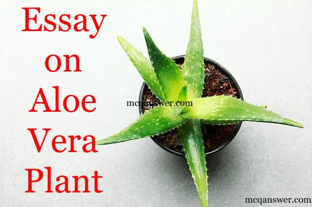 Write An Essay On Aloe Vera Plant
