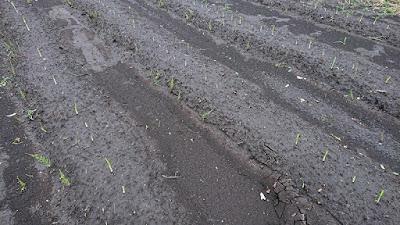 発芽したニンニクと台風19号の影響で畝から流出した土