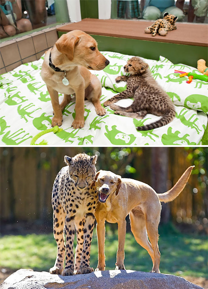 50 Heart-Warming Photos of Animals Growing Up Together - Kasi The Cheetah And Mtani The Labrador