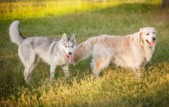 goberian dog breed, golden retriever husky mix, siberian husky golden retriever